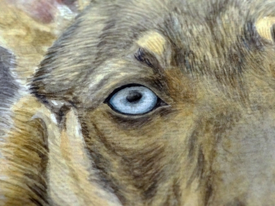 Detail of Chitto's blue eye